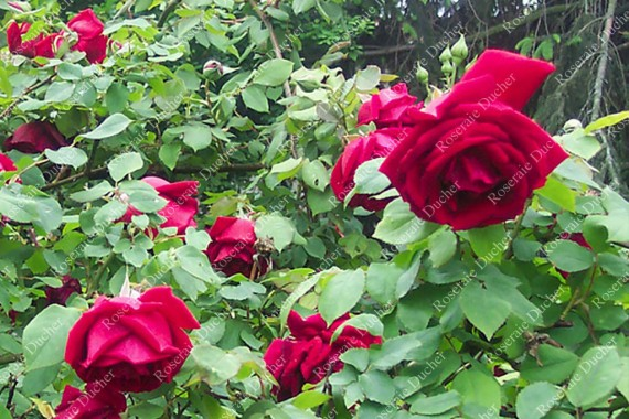 Climbing rose Etoile de Hollande