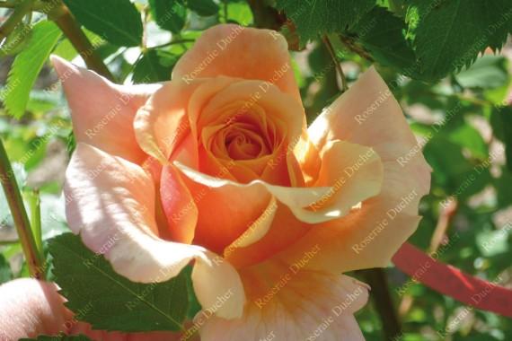 Climbing rose Gruss an Coburg Climbing
