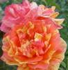 Shrub rose Viniciacum ®
