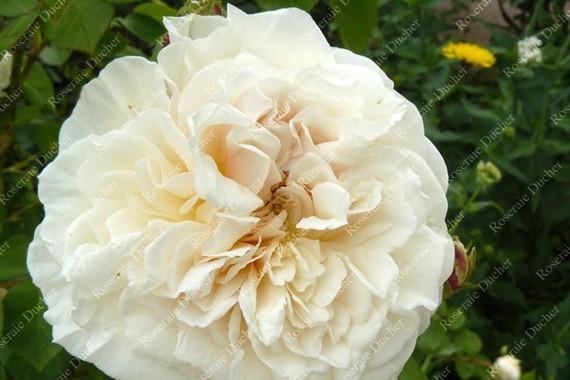 Climbing rose Lamarque