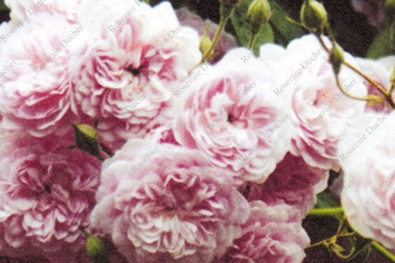 Climbing rose Laure Davoust
