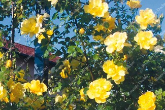 Climbing rose Lawrence Johnston