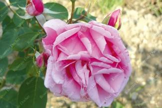 Climbing rose Madame Driout
