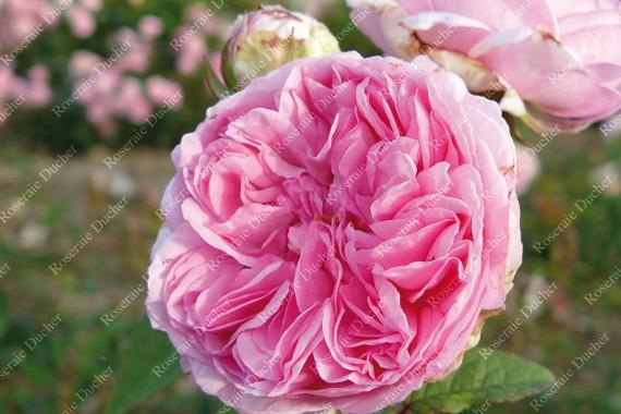 Climbing rose Madame Ernest Calvat