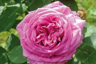 Climbing rose Madame Isaac Pereire