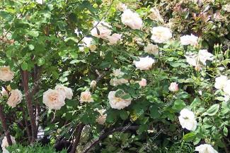 Climbing rose Martha
