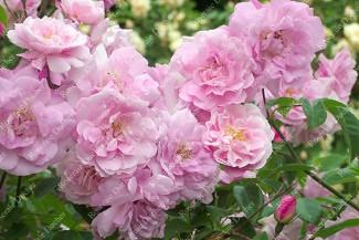 Climbing rose Ornement des Bosquets