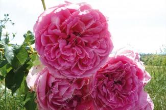 Climbing rose Pink Cloud