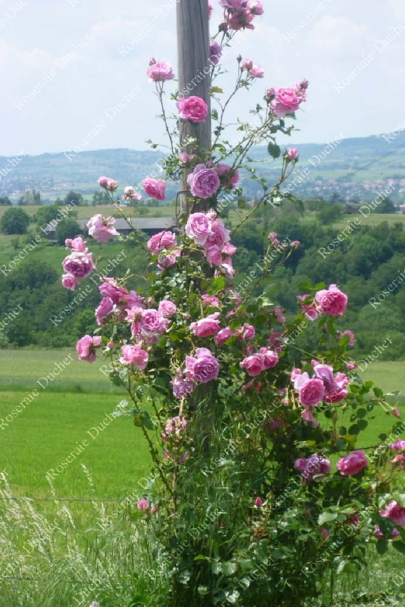 roses ducher