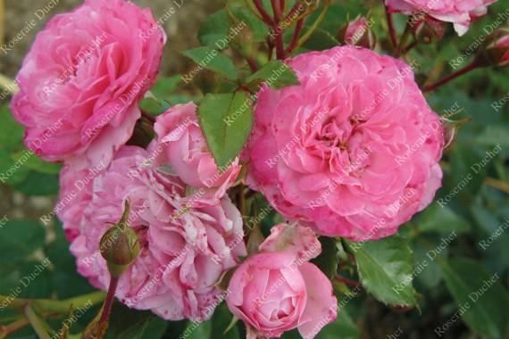Climbing rose Pirontina