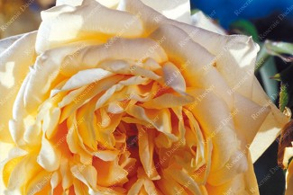 Climbing rose Reve d'Or