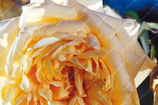 Climbing rose Reve d'Or