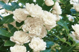 Climbing rose Rosa Banksiae Alba