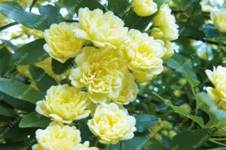 Climbing rose Rosa Banksiae Lutea