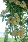 Rosier grimpant Rosa Banksiae Lutea