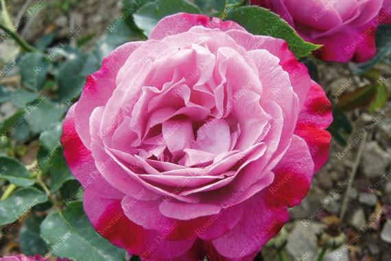 Climbing rose Sophie's Perpetual