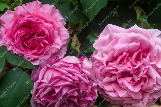 Climbing rose Souvenir de George Pernet Grimpant