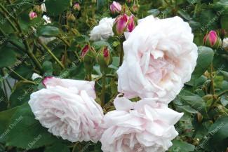 Climbing rose Souvenir de la Malmaison Grimpant