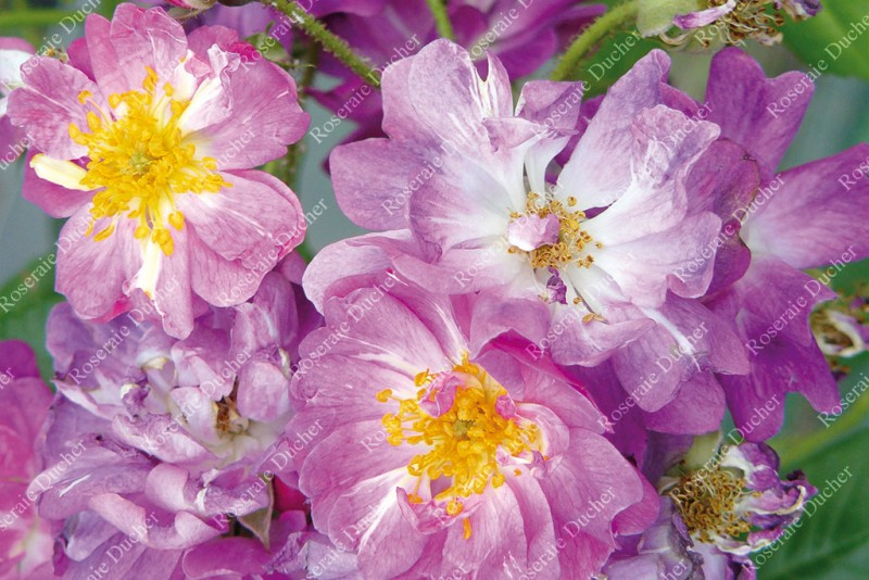 "Rambling Rose /""Veilchenblau/"" lilac flowers bare root RARE /& FRAGRANT"