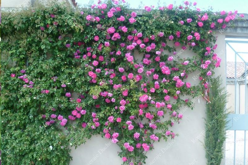 zephirine drouhin roser