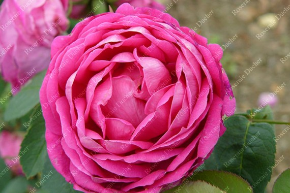 Shrub rose Antoine Ducher