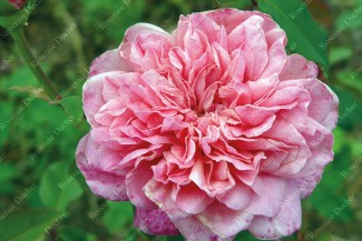 Shrub rose Archiduc Joseph