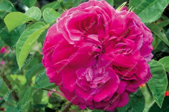 Shrub rose Ardoisee de Lyon
