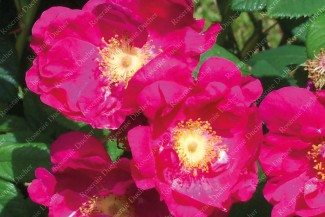 Shrub rose Arkansana