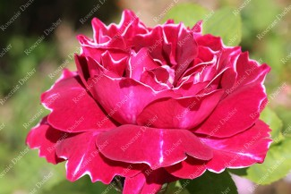 Shrub rose Baron Girod de l'Ain