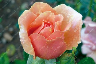 Shrub rose Belle Cuivree