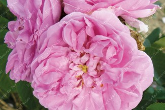Shrub rose Bernard