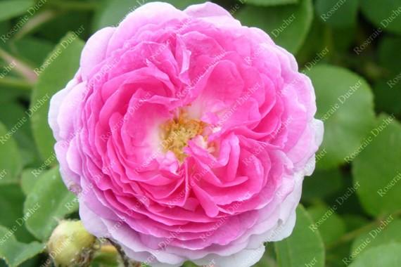Shrub rose Bijou des Prairies