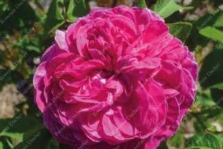 Shrub rose Boufarik