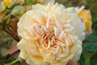 Shrub rose Buff Beauty