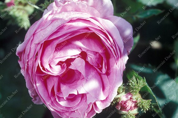 Shrub rose Chapeau de Napoleon