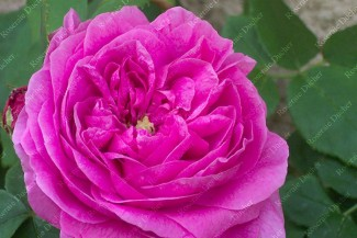 Shrub rose Charlemagne