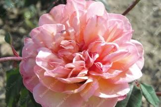 Rosier buisson Clémentina Carbonari