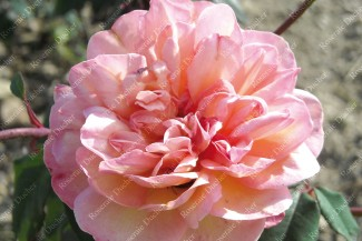 Shrub rose Clementina Carbonari