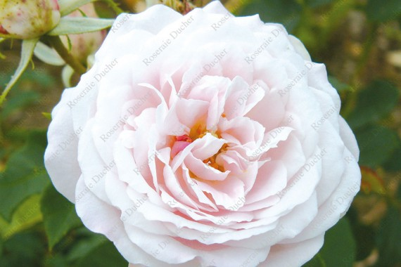 Shrub rose Clio