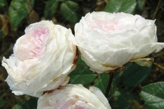 Shrub rose Clotilde Soupert