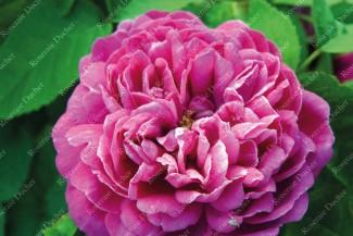 Shrub rose Comte de Falloux