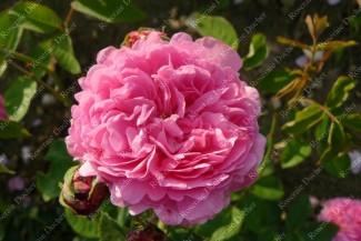 Shrub rose Comtesse Cecile de Chabrillant