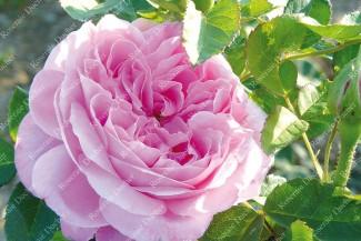 Shrub rose Comtesse Henriette Combes