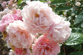 Shrub rose Cornelia