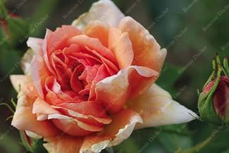 Shrub rose Etoile de Feu