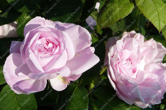 Shrub rose Fantin Latour