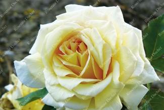 Shrub rose Feu Pernet-Ducher