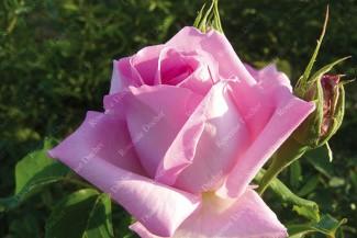 Shrub rose Georg Arends