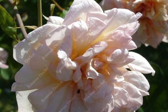 Rosier buisson Gilbert Nabonnand
