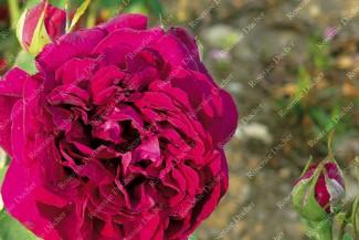 shrub rose Gloire de l'Exposition de Bruxelles